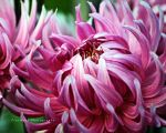 Dahlia Fingers by TruemarkPhotography