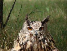 Great Horn Owl by asaph70