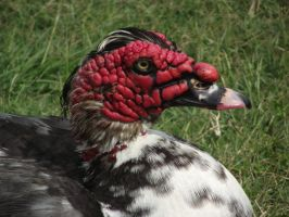 A Muscovy duck by JohnStephenEvil