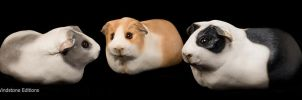 Guinea pigs by Reptangle