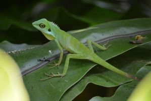 Green Crested Lizard by GreenNexus51