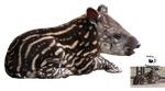 Cut-out stock PNG 99 - sweet baby tapir by Momotte2stocks