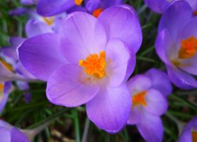 Crocus by MrsMichaelis