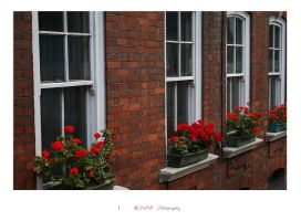 Red Roses . by Nohition