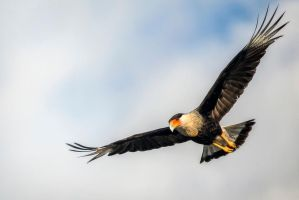 Northerd Crested Caracara by DontHideTheMadness