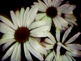 Photo - Flower Study5 by firstfear