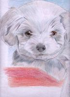 Maltese terrier by xxXX-Carbon-6-XXxx