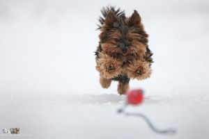 Yorkshire terrier by Wolfruede