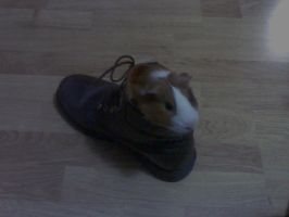 Mangiastorie, the mad Guinea Pig by Mangusto94
