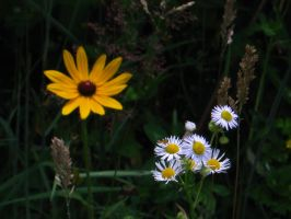 Black-eyed Susan by ThisTangleOfThorns