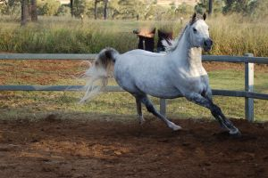 JA Arab Lightdapple Canter toward by Chunga-Stock