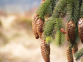 Pinecones 03 by Axy-stock