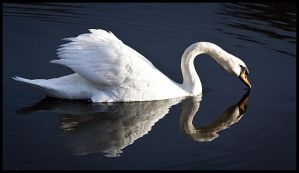 The Swan by nfp