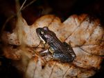 Frog by kb135