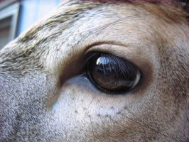 Close-up Deer Eye by MovingSkin13