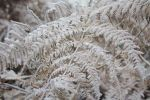 a frozen tangle of ferns by loobyloukitty