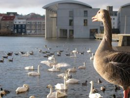 Duck at Reykjavik City Pond by Callego