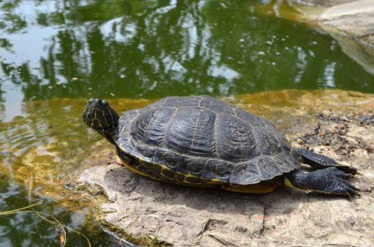 Turtle on Rock Stock Photo 0174 by annamae22