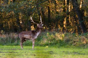 Fallow deer by OkiGraphics