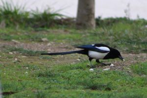 european magpie by kailor