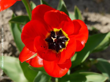 Red Tulip by mickwouai