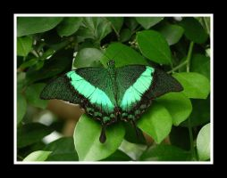 Irredescent Green Butterfly by kimayame