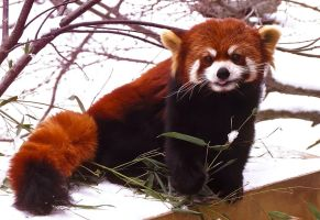 Red Panda Stock 5 by HOTNStock