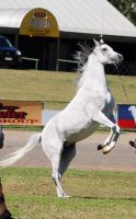 TW Arab white rearing bit blurry by Chunga-Stock