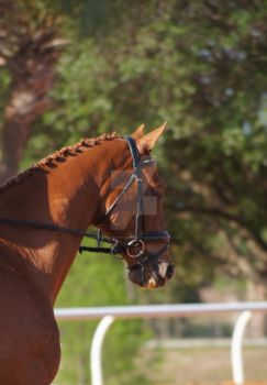 Thoroughbred by PicturEQ-Photography