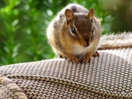 Chipmunk? Or a Squirrel? haha by CloudandNoel45