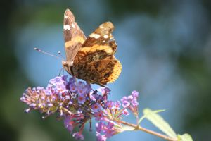 red admiral by Laur720