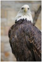 Bald Eagle V by DysfunctionalKid