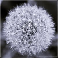 Dandelion V by Polychromic