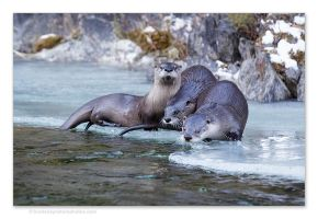 River Otters 2 by kootenayphotos