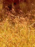 Yellowing grass by Sam-432