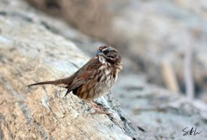 Song Sparrow by Momenti-Photo