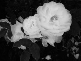 White Roses 2 by MTJforever
