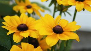 Rudbeckia - soft touch by miss-gardener