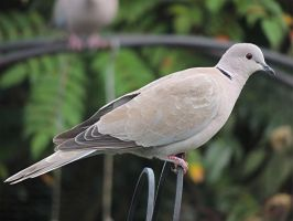 Collared Dove by taramara