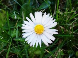 Another Daisy 2012-01-04 13.47 by VioletRosePetals