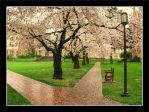 Spring is here:Cherry Blossoms by nikhil150