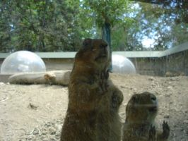 Prairie dogs by Silver-she-wolf-14
