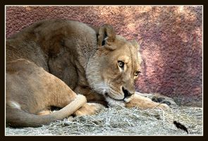 lioness at rest by chibiharuka