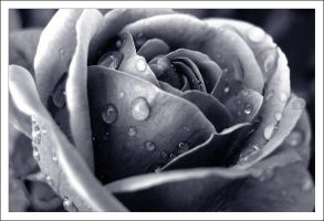 Duotone rose by seeknow
