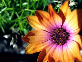 Orange and Pink Daisy by Sing-Down-The-Moon