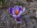 Crocus 6 by reiner67