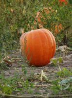Pumpkin by SolStock
