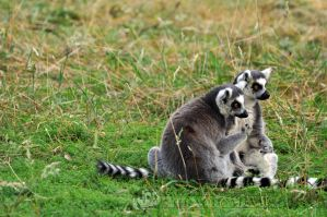 YWP-Ring-Tailed Lemur Cuddles I by ImLookingForTime