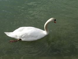 Swan 6 by Cycy-stock