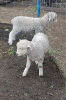 Stock 401 - Lambs by pink-stock